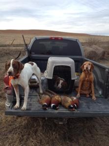 kansas-pheasants